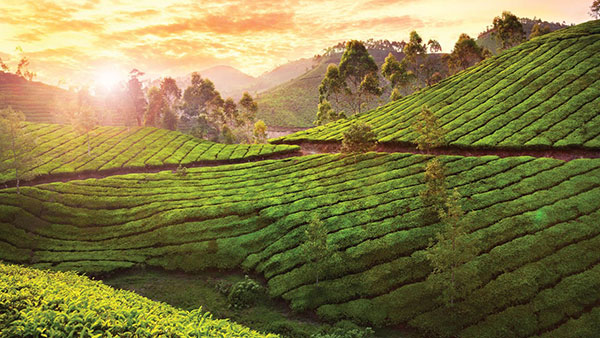 Munnar Luxury Package | Kerala Tourism | The Travel Planners